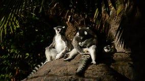 El tomar el sol del lémur del Ringtail almacen de metraje de vídeo