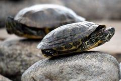 El tomar el sol pintado de las tortugas Fotografía de archivo