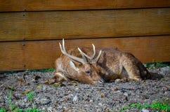 El tomar una siesta de los ciervos fotos de archivo