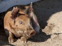 El tomar una siesta del cerdo del Duroc-Jersey imagen de archivo libre de regalías