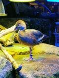 El tomar una siesta del pájaro acuático Fotografía de archivo libre de regalías