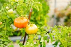 El tomate cantará en una rama imágenes de archivo libres de regalías