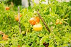El tomate cantará en una rama imagenes de archivo