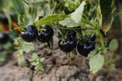 El tomate negro, añil Rose Fotos de archivo