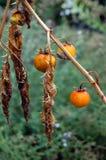 El tomate secado Imágenes de archivo libres de regalías