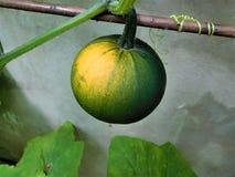 El tomate verde Fotos de archivo libres de regalías