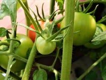 El tomate verde Imagen de archivo libre de regalías