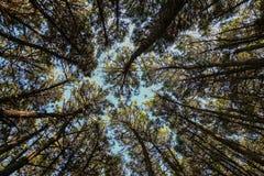 El top de los pinos Imagen de archivo