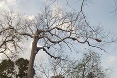 El top del árbol con la abeja encorcha en argumentos del templo de Banteay Chhmar Imagenes de archivo