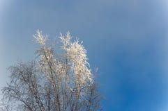 El top del árbol de abedul Cubierto con helada en el fondo del cielo azul Imágenes de archivo libres de regalías