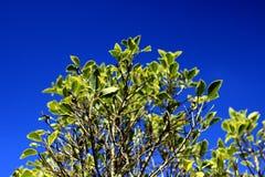 El top del sauce, contra un cielo azul Imagenes de archivo