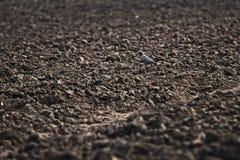 El tordo del pájaro va en la tierra de labrantío, una en el arado foto de archivo libre de regalías