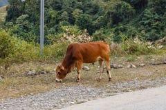 El toro de Brown se coloca en el lado del camino fotografía de archivo