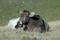 El toro está descansando Imágenes de archivo libres de regalías
