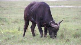El toro negro mastica la hierba