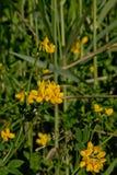 El trébol amarillo del s-pie del ` del pájaro florece - el corniculatus de Lotus Fotos de archivo