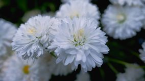 El trébol blanco hermoso florece en primavera e hierba verde Fotos de archivo libres de regalías