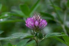 El trébol hermoso está creciendo en un prado de la primavera Pratense del Trifolium imagen de archivo