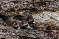 El trío de los mapaches del bebé (lotor del Procyon) mira a escondidas hacia fuera de árbol imagenes de archivo