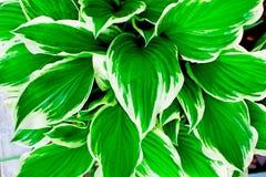 El trópico verde se va con las rayas blancas cerca para arriba imágenes de archivo libres de regalías