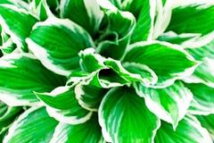 El trópico verde se va con las rayas blancas cerca para arriba fotos de archivo