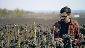 El trabajador camina cerca de los girasoles en un campo Concepto del calentamiento del planeta Concepto dañado de la cosecha metrajes