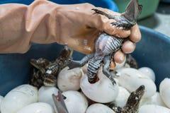 El trabajador corta el cordón umbilical de un cocodrilo recién nacido del bebé después Fotografía de archivo libre de regalías