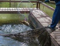 El trabajador de granja de pescados saca de una aro-red con la carpa el agua Imagenes de archivo