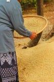 El trabajador de granja es arroz de las películas en la bandeja Imagen de archivo libre de regalías