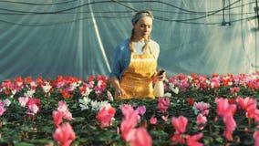 El trabajador del invernadero toma el cuidado de las flores del ciclamen, creciendo en potes almacen de metraje de vídeo