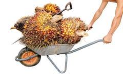 El trabajador empuja una carretilla con las frutas de petróleo de palma Fotografía de archivo