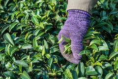 El trabajador escoge a dedo encima de las hojas de té verdes Imágenes de archivo libres de regalías