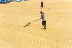 El trabajador tradicional del molino de arroz vuelca el arroz para secarse imágenes de archivo libres de regalías
