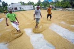 El trabajador tradicional del molino de arroz vuelca el arroz para secarse imagenes de archivo