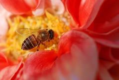 El trabajo de la abeja Fotos de archivo