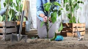 El trabajo de la mujer en huerto ata la planta de pimienta dulce al palillo de bambú de modo que pueda crecer, cerca de las cajas metrajes