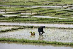 El trabajo en el arroz coloca en funcionamiento Imagenes de archivo
