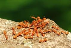 El trabajo en equipo de las hormigas Imagen de archivo