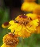 Flores amarillas del cono con las abejas Fotografía de archivo libre de regalías