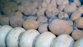 El transportador del metal clasifica las patatas sin pelar, girándolas en una fábrica metrajes