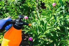 El tratamiento del jardín florece de parásitos y de enfermedades foto de archivo
