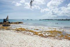 El tratar de la alga marina de Sargassum que estropea las playas del Caribe Foto de archivo
