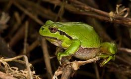 El treefrog europeo (arborea del Hyla) alista para hacer Imagen de archivo libre de regalías