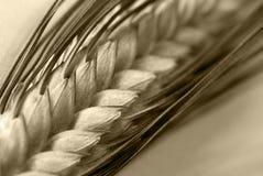 El trigo come Foto de archivo libre de regalías