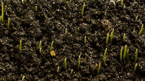 El trigo creciente siembra la agricultura Timelapse almacen de video