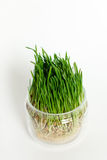 El trigo verde joven brota en un envase de cristal aislado en un whi Imagenes de archivo