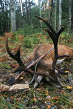 El trofeo de los ciervos comunes europeos con los cuernos después de cazar con un rifle Imagen de archivo libre de regalías