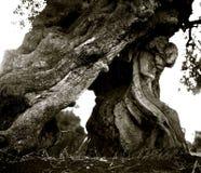 El tronco agrietado de viejas aceitunas crece fuera de la tierra en el Apulia italiano fotografía de archivo
