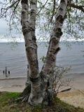 El tronco de árbol de abedul del horizonte del agua del lago de la playa de Sandy ramifica blanco Fotografía de archivo