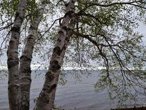 El tronco de árbol de abedul del horizonte del agua del lago de la playa de Sandy ramifica blanco Imagenes de archivo